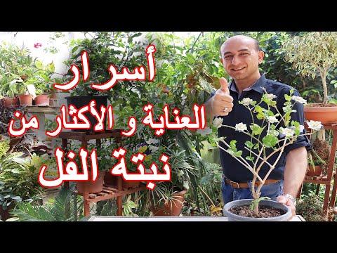 العناية و الاكثار من نبتة الفل (الرازقي), Care and Propagation of the Jasmine Plant