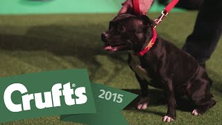 Behind The Scenes With The East Anglian Staffordshire Bull Terrier Display Team | Crufts 2015