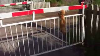 A monkey climbs the level crossing barriers for the metrolink in Radcliffe, Manchester