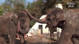 A Baby Elephant Is Shook By How Her Mom Wakes Her Up! | Kritter Klub