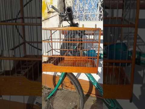 Guyana bird Towa Towa ( Best Bringle )