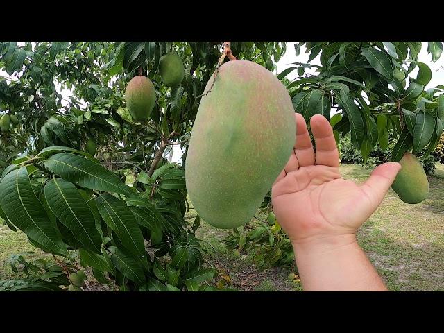 Valencia Pride mango trees