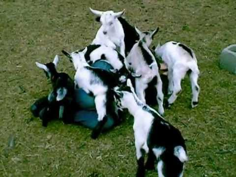 A Very Lucky Girl Is Tackled By A Horde Of Baby Goats
