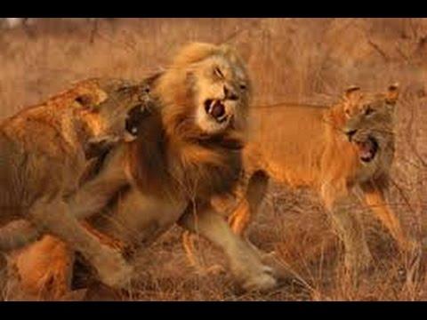 Gut bekannt Violent clash entre un lion et sa meute! Bagarre pour la  WP57