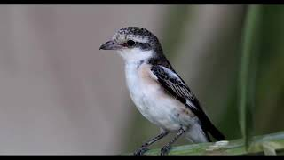 Video Masked shrike download MP3, 3GP, MP4, WEBM, AVI, FLV Juli 2018