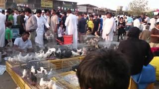 حمام باکستانی Pakistani Pigeons Boota Farooq  khadriala