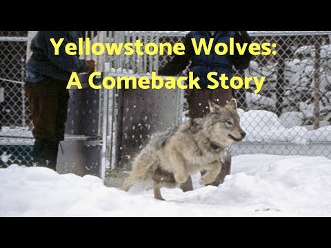 Yellowstone Wolves: A Comeback Story