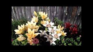 Цветы моего сада Яркие краски лета 2018 Ностальгия