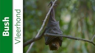 Vleerhond | Burgers' Zoo Natuurlijk thumbnail