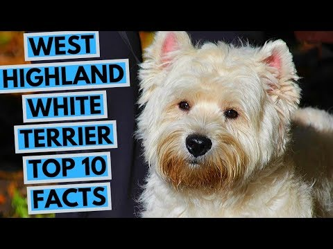 West Highland White Terrier - TOP 10 Interesting Facts