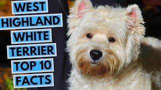 West Highland White Terrier  TOP 10 Interesting Facts