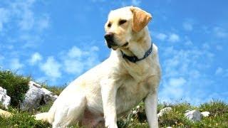 All About Labrador Retrievers