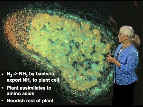 Legume and Bacteria Symbiosis - Sharon Long (Stanford)