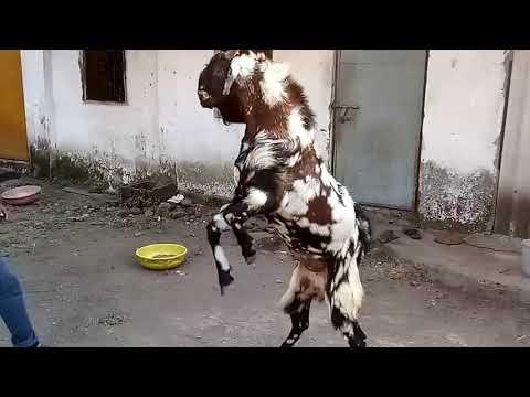 Malwa aggressive Bakra for sale / माळवा बकरा विक्रीस उपलब्ध
