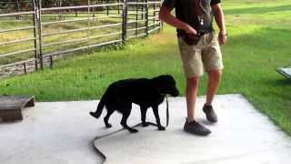 Drowning Creek Gun Dogs- Clicker Training Ace With Commands