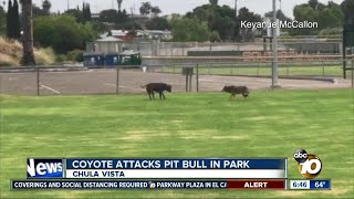 Encounter between coyote and pit bull at park caught on video