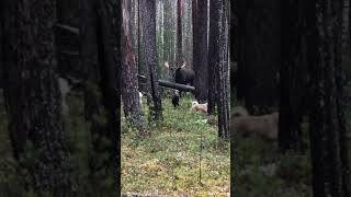 снимаю собак с лося