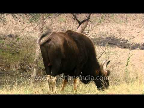 Gaur : The robust Indian bovine