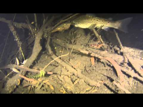 Very Big Brown Trout at Night