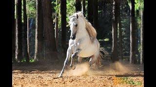 Андалузы. Андалузская порода лошадей. Pura Raza Espanol. Andalusian horse