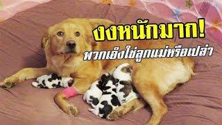 แม่หมาโกลเด้น-สุดงง-คลอดลูกออกมา-ไม่เหมือนตัวเองเลยสักตัว