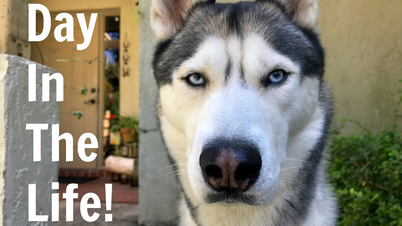 A Day in The Life of A Husky In Less Than 2 Minutes!