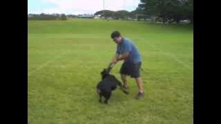 Hawaii Rottweiler Sasha