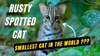 Rusty Spotted Cat (Sri Lanka) - Smallest Cat in the World!