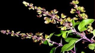 Increase life longevity, heals cough, fever, cold & skin diseases - Ocimum sanctum