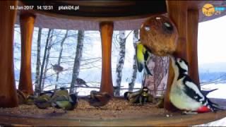 Samica dzięcioła dużego, sikorki bogatki i jery w karmniku nad Soliną