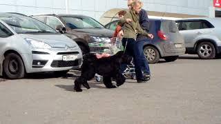 5 месячный щенок Русского черного терьера