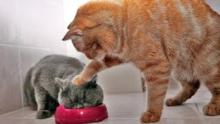 「かわいい猫」 笑わないようにしようとしてください - 最も面白い猫の映画 #266