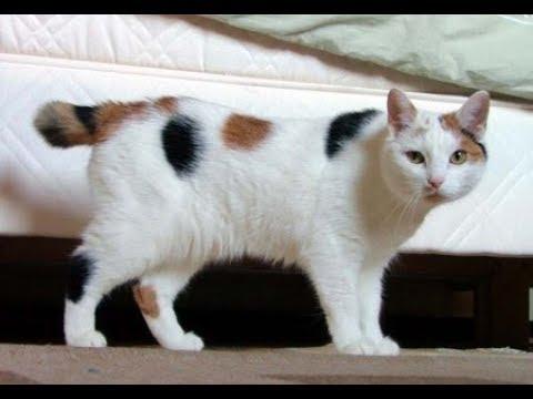 Manx de Pelo Largo / Raza de Gato