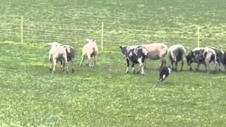 羊をまとめて追い立てるボーダーコリー 2015年3月21日 スイスでBertschi...