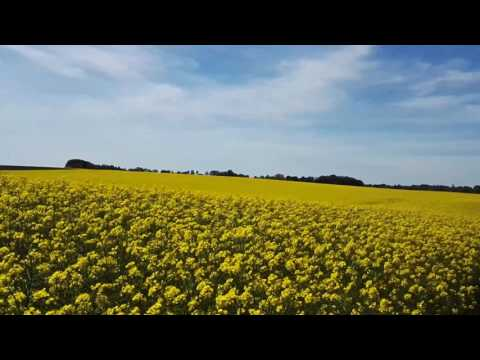 Rapeseed field in blossom