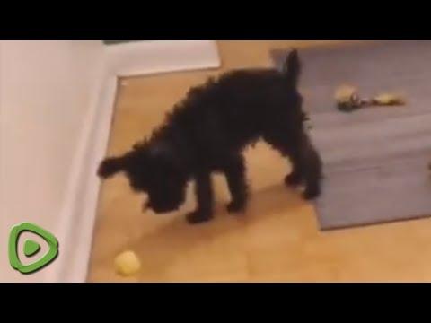 Miniature Schnoodle fights an  'evil' lemon wedge