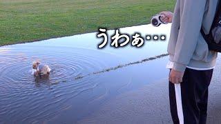 巨大な水溜りに大興奮するトイプードル