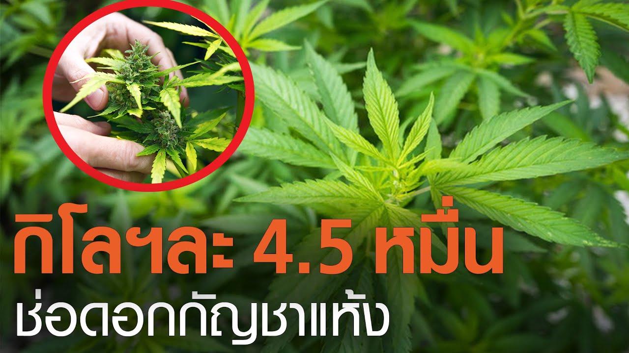 กิโลกรัมละ 4.5 หมื่น อภ.ซื้อช่อดอกกัญชาแห้งเกรดเอ l TNNข่าวเที่ยง l 19-2-64