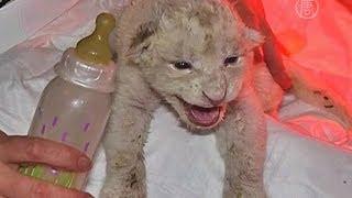 В зоопарке Грузии родились белые львята (новости)