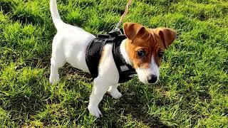 FAFIK  Jack Russell Terrier. First walks / Pierwsze spacery