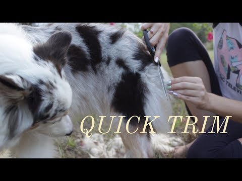 How I Give My Australian Shepherd Dog a Quick Hair Trim