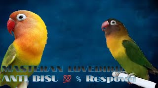 Video Lovebird Euwing Blue pas untuk memancing fighter b download MP3, 3GP, MP4, WEBM, AVI, FLV Agustus 2018