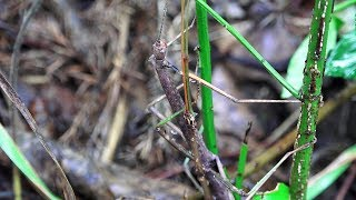 Northern Walkingsticks Mating and interrupted by my puppy