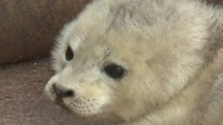 Download Video Hungry baby seal needs feeding ... NOW! MP3 3GP MP4