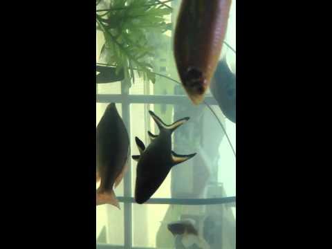 Convict cichlid, gourami breeding, community tank, long vid