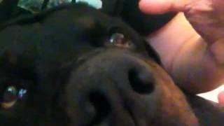 Rottweiler Attacks