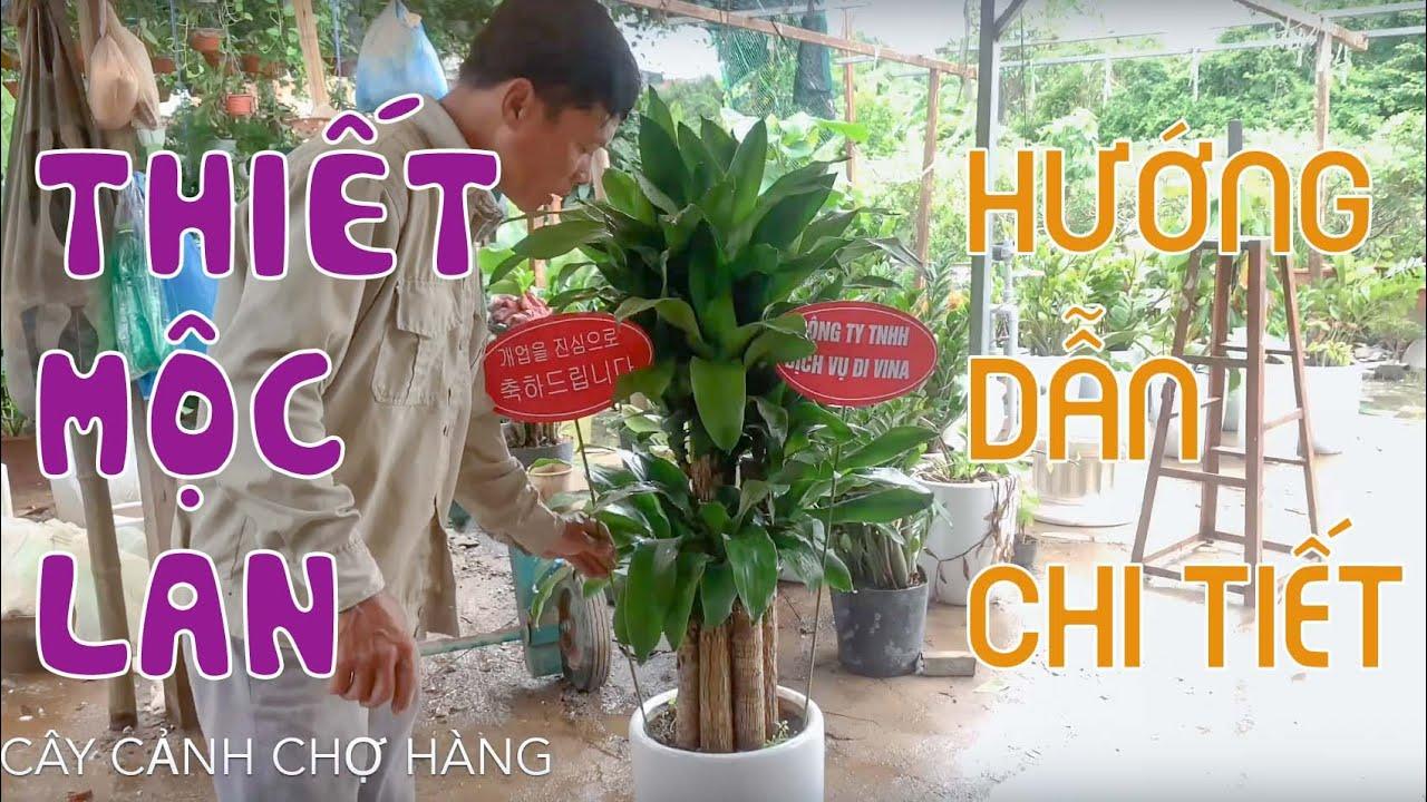 57. Cây thiết mộc lan - Quà tặng biếu - Hướng dẫn trồng và chăm sóc - Cây cảnh Chợ Hàng