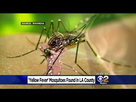 Yellow Fever Mosquitoes Reported In Region