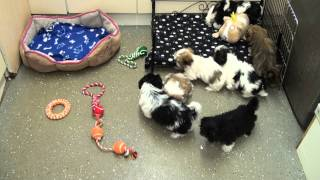 Little Rascals Uk Breeders New Litter Of Shih Tzu Boys And Girls