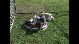 Beagle Puppies And The Fight With Shoes